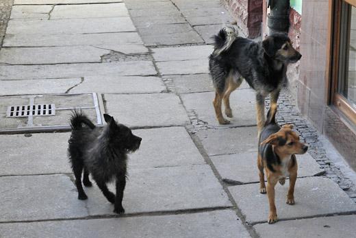 psy w wiebodzicach