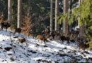 Bliskie spotkanie z muflonami…